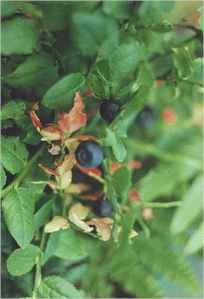bilberries.jpg (7692 bytes)