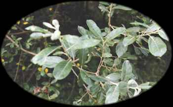 sallowWillow.jpg (9755 bytes)